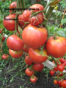 томат коловый
