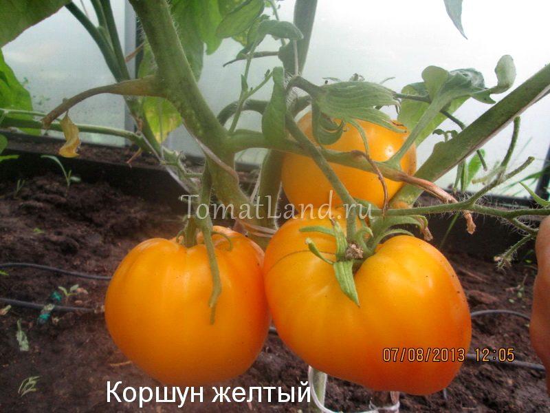 помидоры коршун желтый