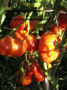 томат Огромный красный коршун