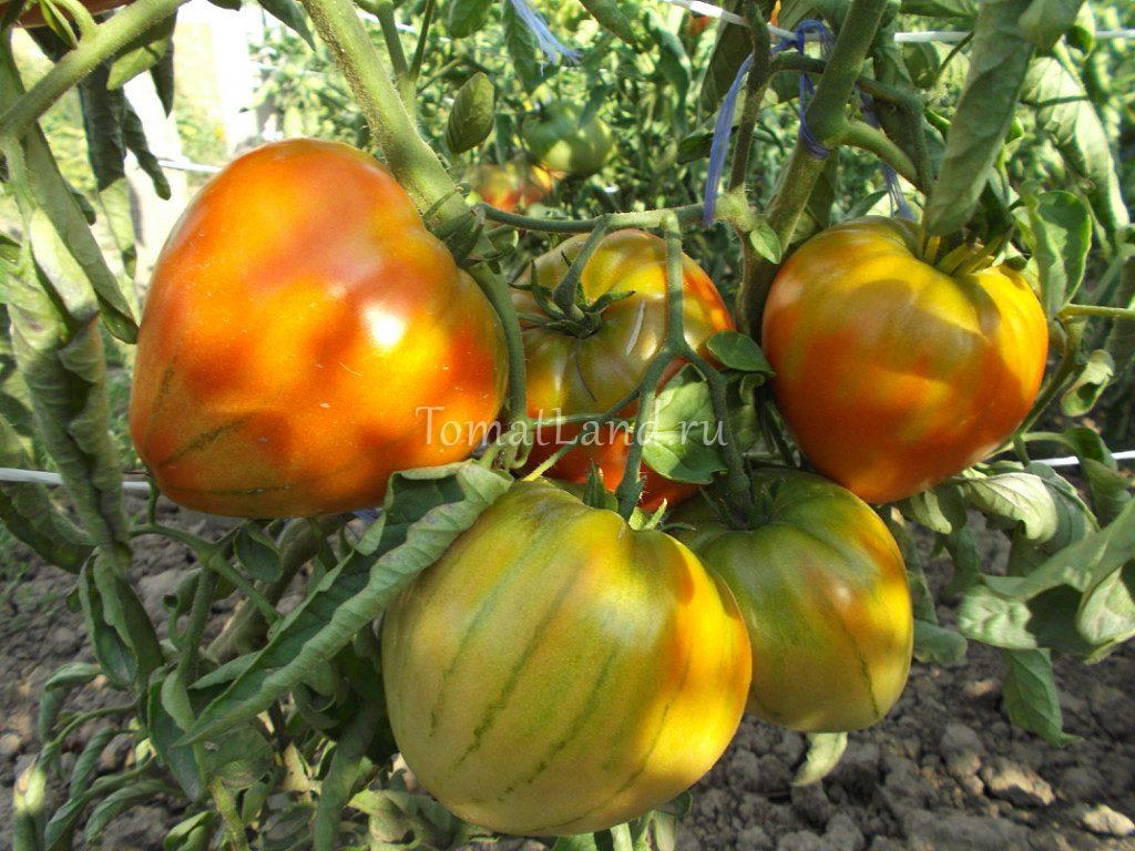 томаты корнеевские красные
