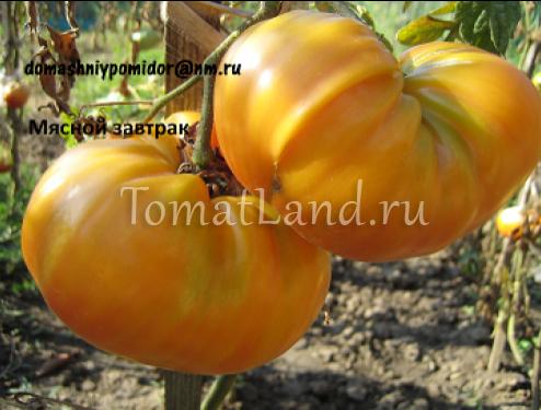 помидоры мясной завтрак фото