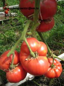 томат Mexico