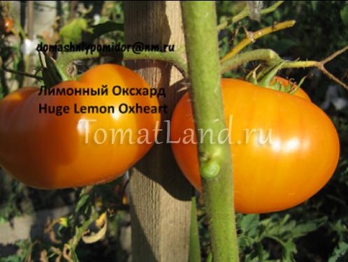 томат лимонный оксхард