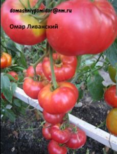 томат ливанский омар