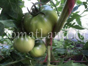 Выращивание томатов пинк парадайз 49