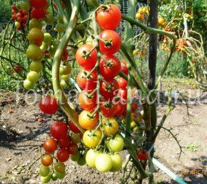 томат помисолька