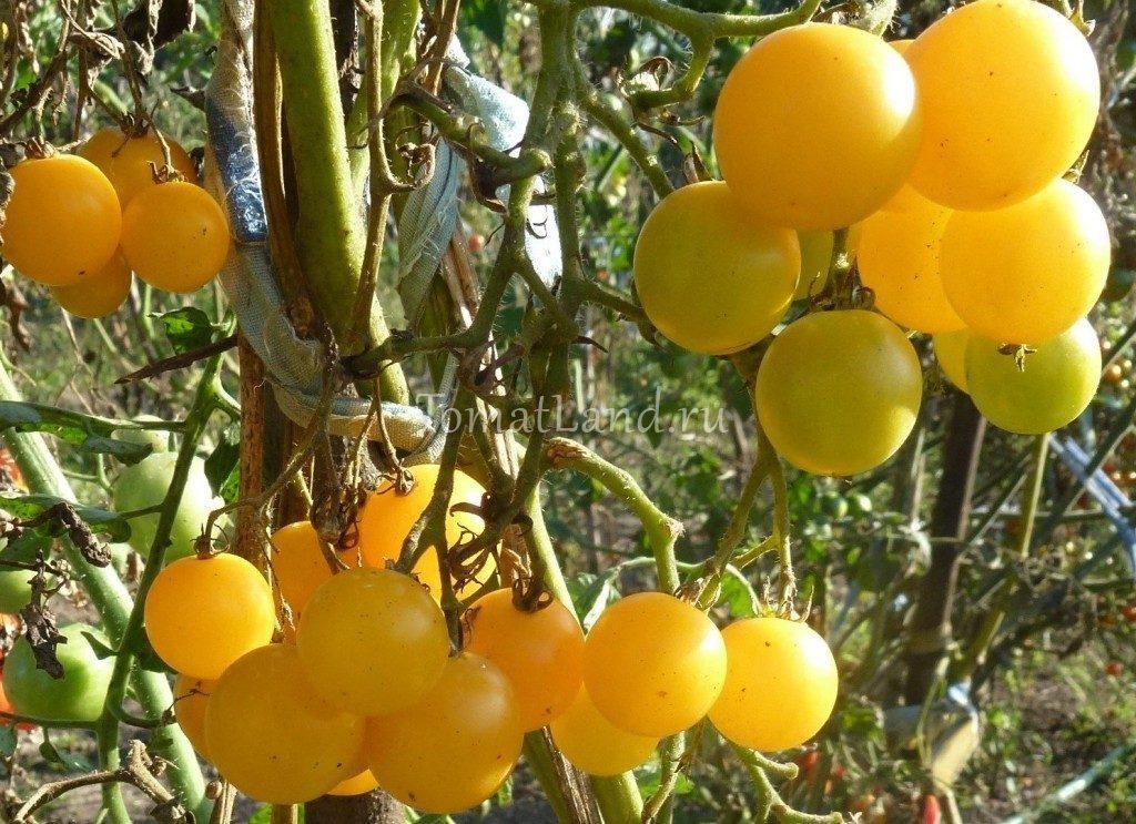томат Вишня желтая фото