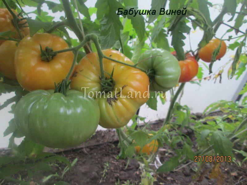томат бабушка виней фото куста