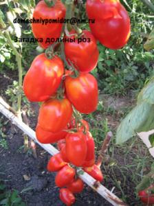 томат загадка долины роз