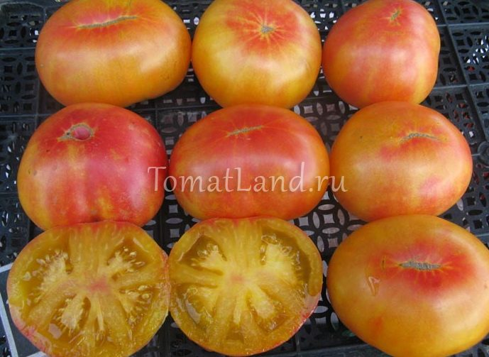 помидоры золотая медаль фото