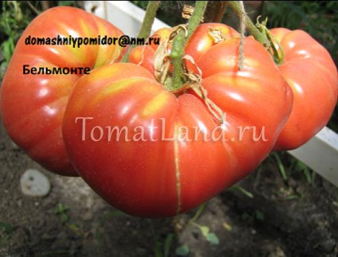 томат бельмонте фото