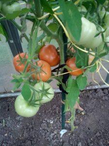 томат боливар f1