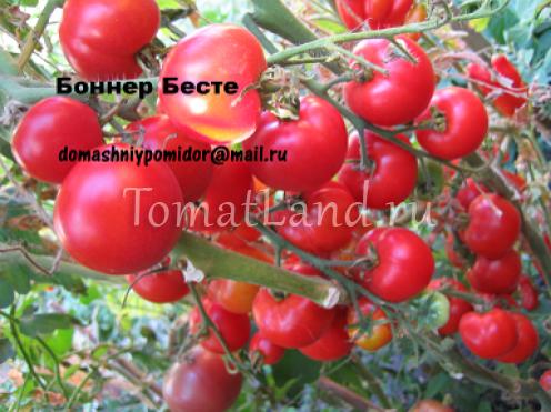 помидоры бонер бесте