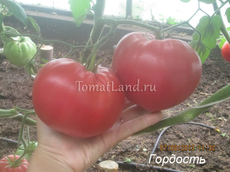 помидоры Гордость Грайтмара фото