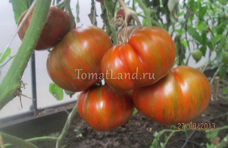 томат большой полосатый кабан фото куста