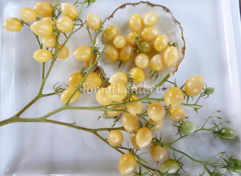 сумасшедшие вишни барри фото спелых плодов