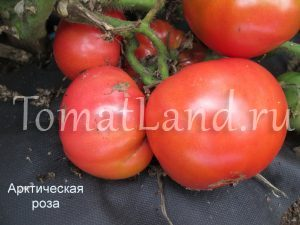 томат арктическая роза