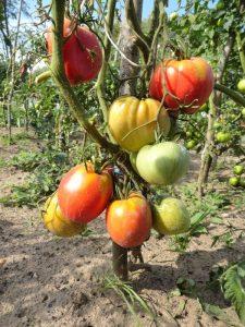 томат пудовик