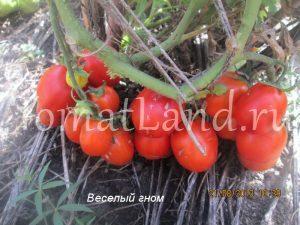 томат веселый гном