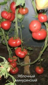 томат яблочный минусинский