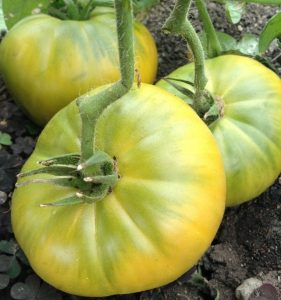 томат гигантский изумруд