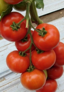 томат белле