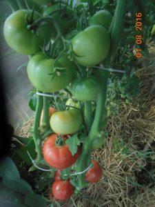 томат фенда