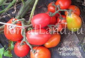 гибрид тарасенко 7
