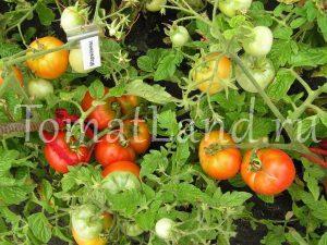 томат марианны
