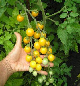 томат монисто янтарное