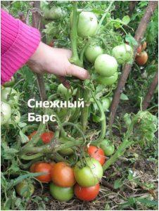 томаты снежный барс фото спелых плодов