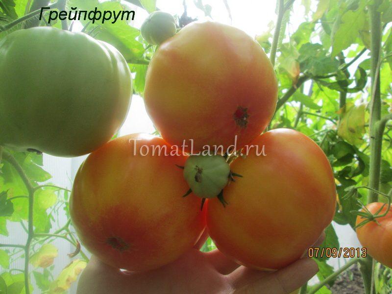 помидоры грейпфрут фото