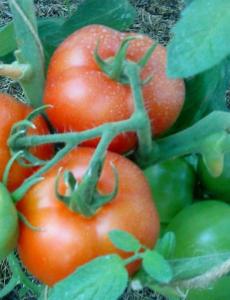 помидоры лабрадор фото