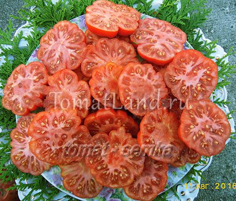 томат писанелло де брускетта сорт