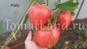 томат робс фото