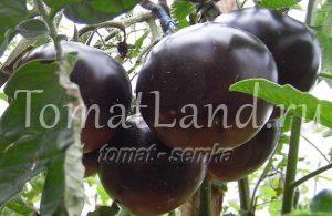 томат черная красавица
