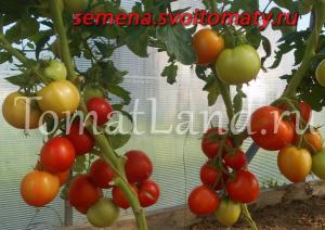 томат радостный