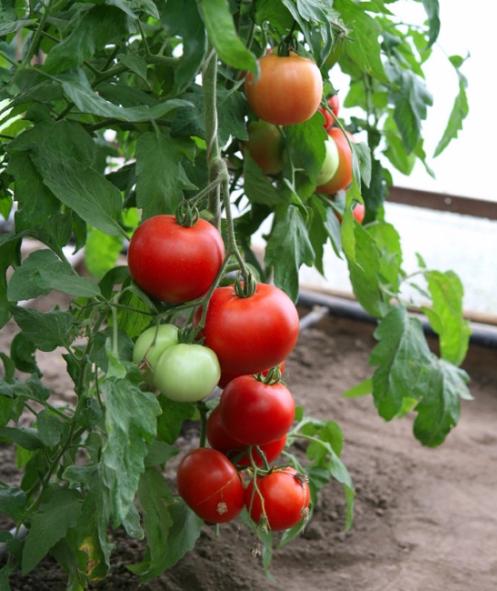 помидоры ажур фото