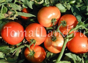 помидоры багира фото
