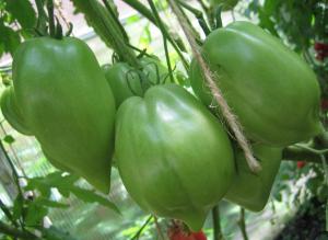 томат бычки минусинские