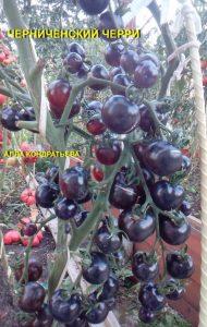 томат черниченский