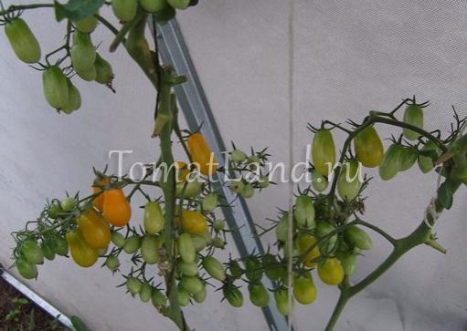 помидоры медовая конфетка фото