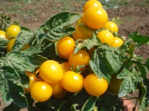 помидоры монетка