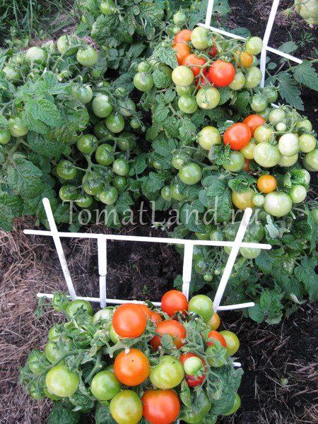 помидоры пиноккио фото