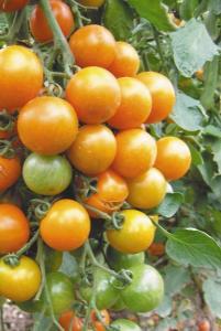 помидоры том желтый фото