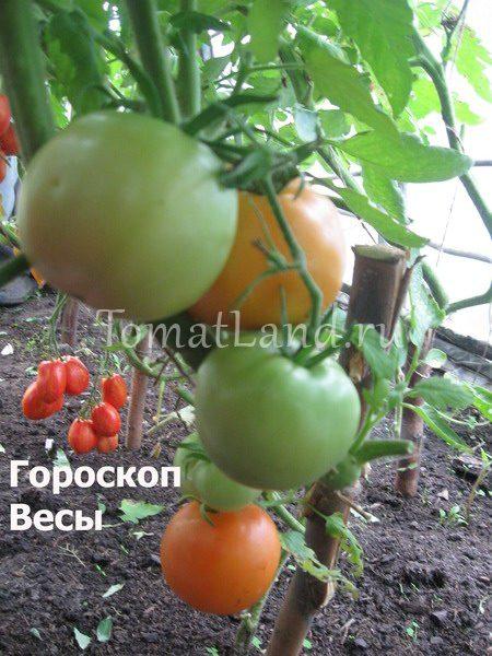 томат гороскоп весы