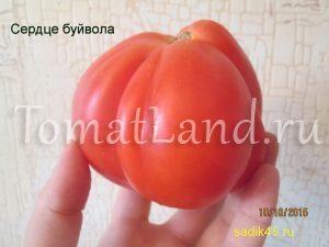 помидоры Сердце быка фото