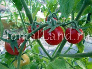 томат амброзия красная фото