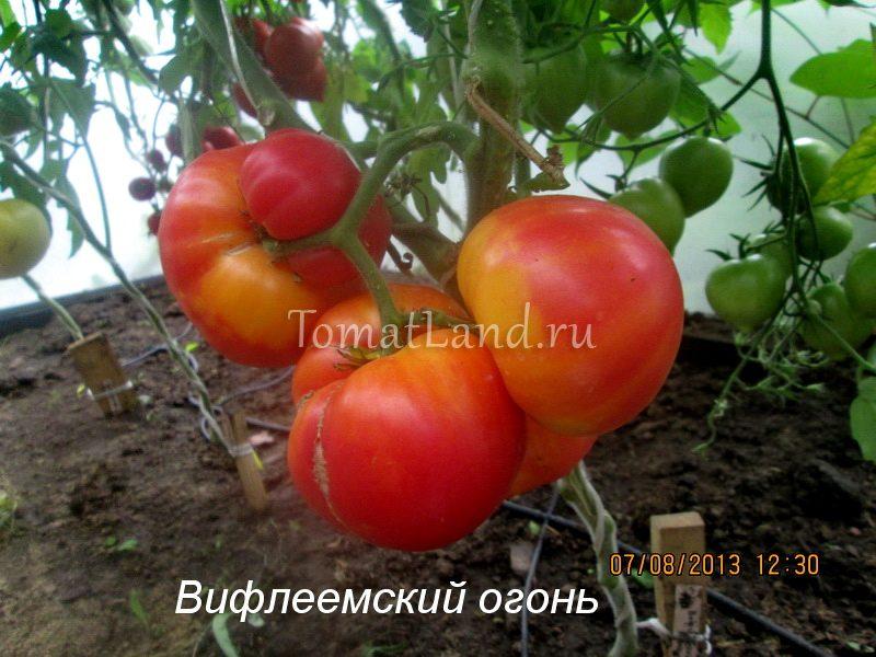 томат Вифлеемский огонь фото