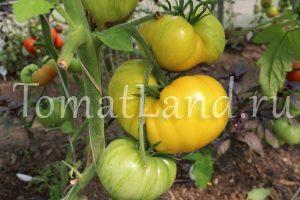 помидоры большая желтая зебра